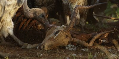 Vultures on kill - eating impala carcass, medium shot