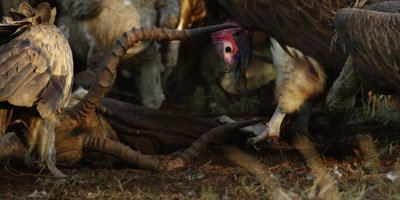 Vultures on kill - eating impala carcass, close shot