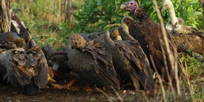Vultures on kill - group eating impala carcass, medium shot