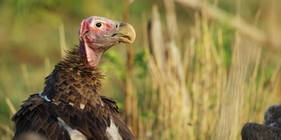 Lappet-faced Vulture - looking around, close shot