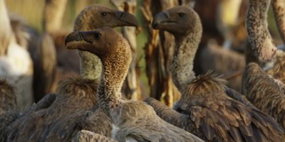 Vultures on kill - group of heads looking around, close shot
