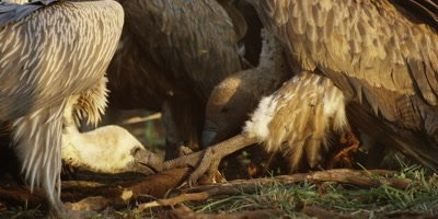 Vultures on kill - close up of heads tearing flesh off leg of carcass
