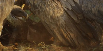 Vultures on kill - eating remains of carcass, close shot