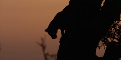 Leopard - climbs down from tree at night