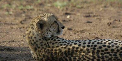 Cheetah - lying on ground, facing away, close shot
