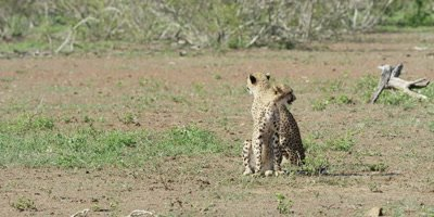 Cheetah - pair of cubs sitting and looking around, wide shot