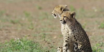 Cheetah - pair of cubs sitting and looking around, close shot