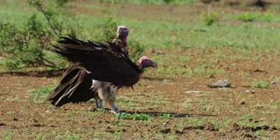 Lappet-Faced Vulture - pair standing on ground near kill