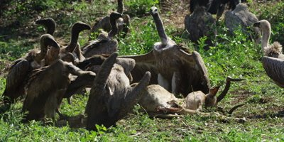 Vultures feeding - fighting over carcass
