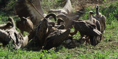 Vultures feeding - fighting over carcass 2