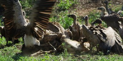 Vultures feeding - aggressive behavior, fighting, pecking