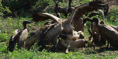 Vultures feeding - group on carcass