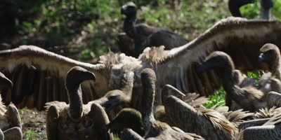 Vultures feeding - one hops to carcass, wings outspread