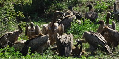 Vultures feeding - eating and squabbling