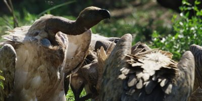 Vultures feeding - fighting and pecking, close shot