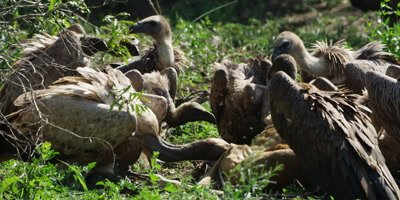 Vultures feeding - ripping flesh from carcass