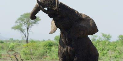 Bull Elephant - angrily shakes head and moves toward camera