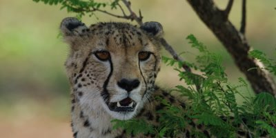 Cheetah - sitting under tree, close shot