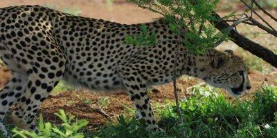 Cheetah - lies down under tree, medium shot