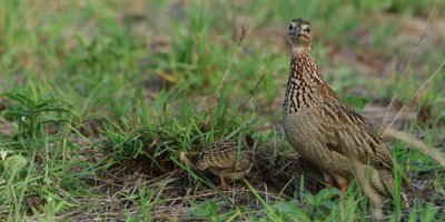 Francolin family - one chick next to adult