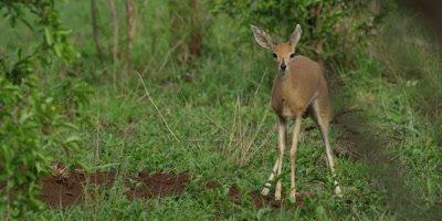 Steenbok in the bush, medium shot