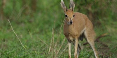 Steenbok in the bush, close shot