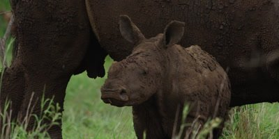 White Rhino - calf standing in front of mother, close shot