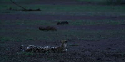 Cheetah - lying on ground at dusk, wide shot