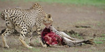 Cheetah Kill in Kruger National Park