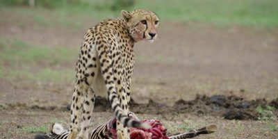 Cheetah - feeding then stands up and walks toward camera