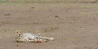 Cheetah - lying down, wide shot