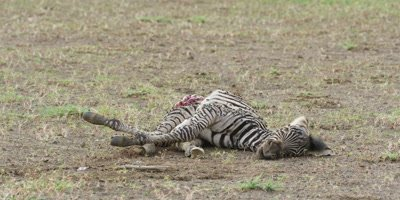 Zebra foal carcass, wide shot