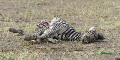 Zebra foal carcass, medium shot