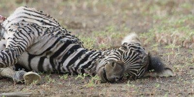 Zebra foal carcass, close shot