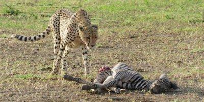 Cheetah - walks toward kill