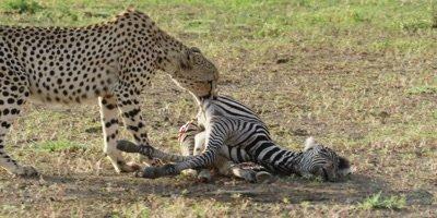Cheetah - drags zebra carcass away from camera