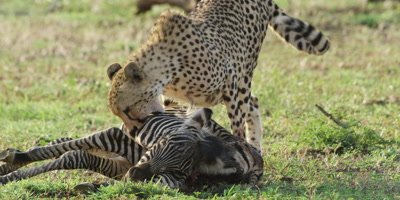 Cheetah - dragging zebra carcass, close shot