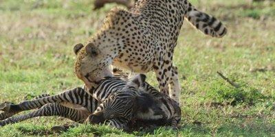 Cheetah - dragging zebra carcass, close shot
