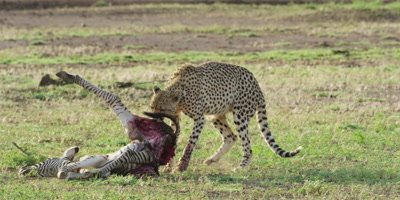 Cheetah - dragging zebra carcass, wide shot 2