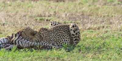 Cheetah - feeding on zebra foal carcass, medium shot 2