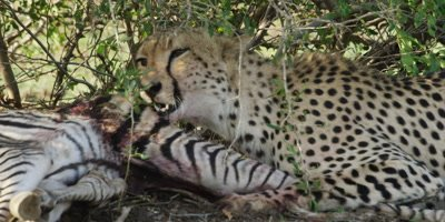 Cheetah - eating zebra foal under bush, close pan