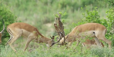 Impala - rams fighting, one runs away