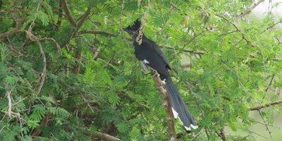 Striped Cuckoo - hopping around in thorn bush, medium shot