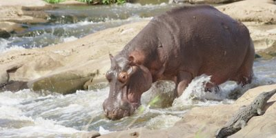 Hippo - sliding down rapids in river