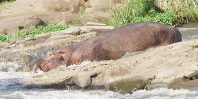 Hippo - sliding down rapids in river 3