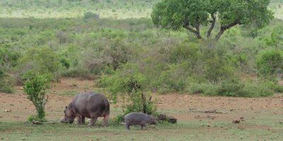 Hippo - mother with small baby grazing, wide scenic shot