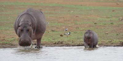 Hippo - mother with small baby enter water, medium shot