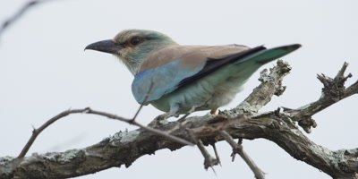 European Roller - perched on branch