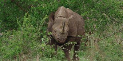 Black Rhino - browsing on bush, medium shot