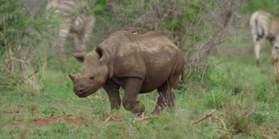 Black Rhino - calf walking with oxpeckers on back